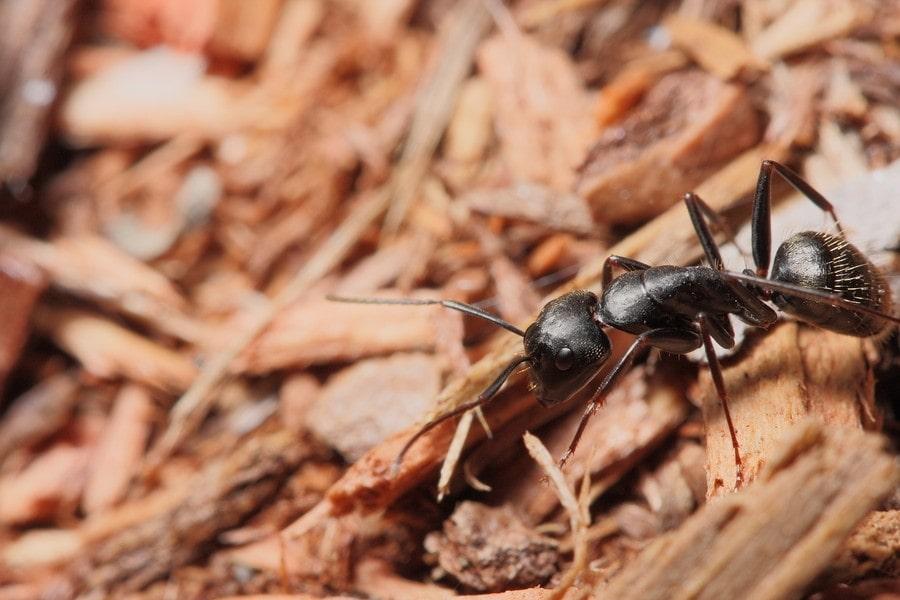 backyard pests - carpenter ants on wood